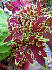 Coleus 'Unknown Super Duckfoot?'