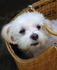 Travel in a basket (tanakawho) Tags: dog pet white eye animal mouth nose basket coat fluffy ear maltese silky tanakawho