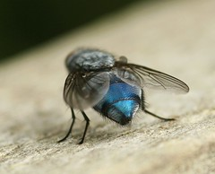(I´m running around like a) blue arsed fly
