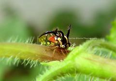 Toro surrealista / The surrealistic Bull (Karina Diarte de Maidana) Tags: macro bug insect paraguay membracidae cyphonia homoptero cyphoniatrifida karinadiarte