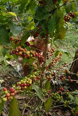 Ggeorgia picking coffee
