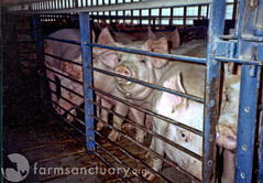 Pigs confined in metal and concrete pens