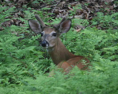 Deer in ferns