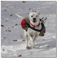 Snow Dog (csnyder103) Tags: rescue dog snow fun running explore pack freckles soe pitmix abigfave anawesomeshot superbmasterpiece diamondclassphotographer flickrdiamond pet100