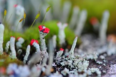 a little color (CORDAN) Tags: red green moss backyard bright vivid micro matchsticklichen nikkor105mmf28vrmicro macromix flickrgolfclub nikond300 ©cordan2008