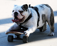 Skateboarding Bulldog (Dean of Photography) Tags: show dog pet nature field animal tongue fun mammal stand friend sheep shepherd watch watching guard canine pride bulldog domestic skateboard breed companion pure fellow trusty attendant horde attentive alert guarding loyal watchdog sentinel veterinary faithful watchful chaperon photofaceoffwinner pfogold fotocompetition fotocompetitionbronze skateboardbulldog herowinner