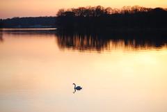 Peaceful Lake (Mae B.) Tags: sunset lake reflection see swan sonnenuntergang peaceful schwan spiegelung photofaceoffwinner pfogold