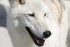 wolf02_not tala