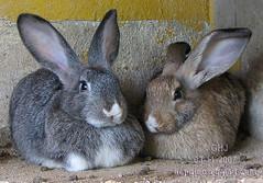 20071103 - 013 - DayTrip - 4317 (Heng-Joo aka GHJ-Cali) Tags: rabbit canon bukittinggi s3is canonpowershots3is goldstaraward