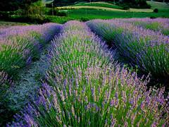 (raffaphoto©) Tags: flowers nature landscapes purple lavander fiori campaign lavanda smörgåsbord supershot colorphotoaward impressedbeauty diamondclassphotographer flickrdiamond theunforgettablepictures