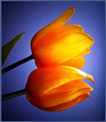 Happy Spring! (Amy V. Miller) Tags: blue flower macro yellow tulips goldstar fantasticflower flickrenvy macroaward flickrsfantasticflowers betterthangood theperfectphotographer extrordinarycompositions goldstaraward worldsmoststunningshots