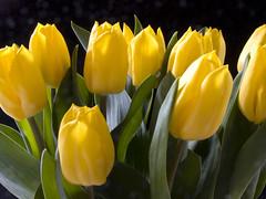 Frühlingsblumen / Flowers of spring (schreibtnix on'n off) Tags: flowers plants macro nature yellow closeup spring tulips natur pflanzen blumen gelb makro nahaufnahme frühling tulpen springfever blueribbonwinner olympuse1 masterphotos impressedbeauty macroelsalvador