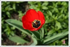 郁金香 - Tulip