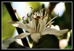 Fiore di Limone (Christian Demma) Tags: white flower canon eos whiteflower lemon christian fiore bianco limone lemonflower 400d canoneos400d fiorebianco fioredilimone demma christiandemma
