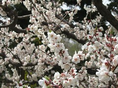 It was not cherry tree but plum. (mamako7070) Tags: spring plum ume plumblossom    bungoume