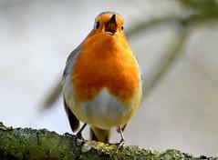 Sing me a song. (pstone646) Tags: robin nature bird animal wildlife closeup singing fauna bokeh kent