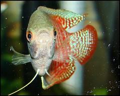 Rami the Dwarf Gourami (Kathy1976) Tags: red fish aquarium gourami dwarfgourami