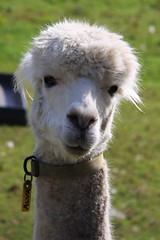 Alva the Alpaca (zeity121) Tags: alva alpaca animal sheffield yorkshire ringinglow fulwood mayfieldvalley mayfieldalpacas