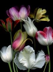 42998 Tulipa (horticultural art) Tags: flowers tulip getty bouquet horticulture tulipa horticulturalart 136487672