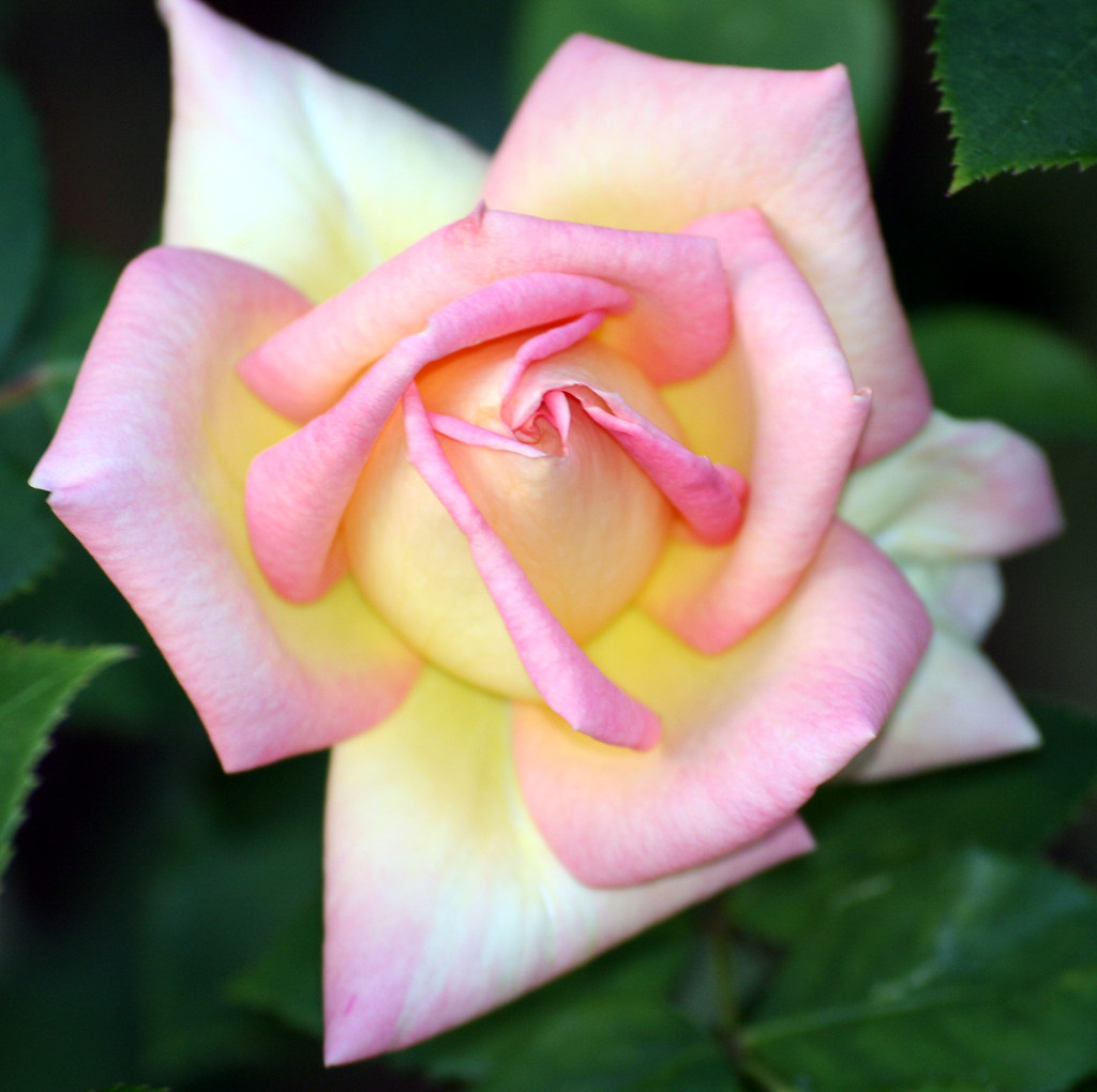 England's Rose.