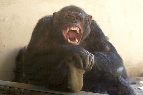 The True Story of Travis the Enraged Chimp - O Me of Little