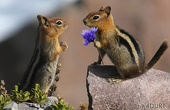 Bold Move Pays Off (4Durt) Tags: flower cute animal chipmunk craterlake 300k goldenmantledgroundsquirrel 300000views 400000views curttoumanian cascadegoldenmantledgroundsquirrel photodomino717 photodomino792