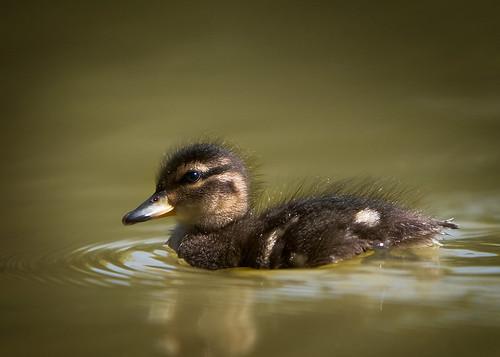 Duckling2955.jpg