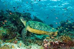 reefturtle8970pcw (gerb) Tags: blue topf25 beautiful topv111 coral 1025fav 510fav wow ilovenature topv555 topv333 underwater turtle awesome topv1111 topv999 scuba fv5 loveit pi malaysia wildanimal 1224mmf4g fv10 topv777 d100 reef sipadan topv3333 animalplanet aquatica sipadanphotoweek anthia pfo tvx impressedbeauty photofaceoffwinner thegoldenmermaid pfogold