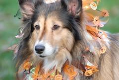 cão abóbora