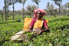 IMG_4243 Teskördare (HAKANU) Tags: portrait woman plants india mountains tea kerala westernghats munnar teaplants teaplantations teapicker teapicking teaproduction thewesternghats