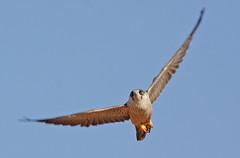 032054-IMG_4870 Grey Falcon (Falco hypoleucos) (ajmatthehiddenhouse) Tags: greyfalcon grayfalcon falcohypoleucos falco hypoleucos sa southaustralia bird 2007 australia