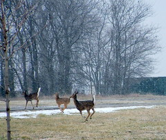 Running Home in the Snow (My Blue Dragon) Tags: snow deer shawneemissionpark whitetails