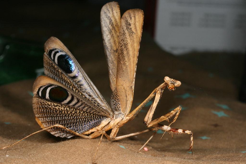 Pseudempusa pinnapavonis - peacock mantis -- Macro in photography ...