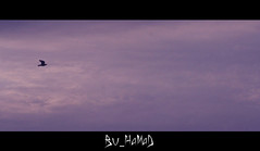 ~     ..] (Sanctuary photography  back ! maybe :p) Tags: sky cloud flying wings with purple pigeon dove horizon gone thewind