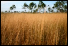 Field of Gold (Chrissy Avila Photography (cHrIsSy1554)) Tags: landscape photography c © squared okaloacoocheesloughstateforest ©csquaredphotography chrissy1554 ©christinaavilaphotography ©chrissyavilaphotography wwwchrissyavilaphotographycom