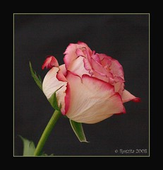 Rose on Black (Roszita) Tags: pink black flower macro nature rose closeup petals excellence takeabow lifeasiseeit flowerotica fantasticflower superbmasterpiece citrit empyreanflowers ysplix floralexcellence theunforgettablepictures scarletrose77 theperfectphotographer