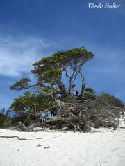 Milagres da natureza (Pmela) Tags: brazil tree praia nature brasil riodejaneiro rj natureza rvore figueira paraso arraialdocabo ilhadofarol inacreditvel pmelastocker novotedesafio