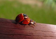 Saucy Ladybugs