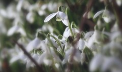 bank of angels (Viacreativa) Tags: flowers winter white macro wales outside early spring cymru january snowdrops ceredigion galanthus febrary