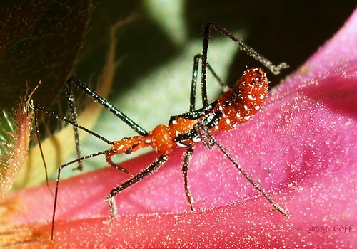 Milkweed Assassin Bug (Zelus longipes)