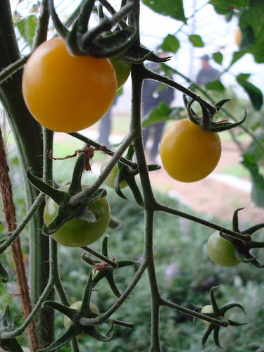 yellow tomatoes at Agrilandia