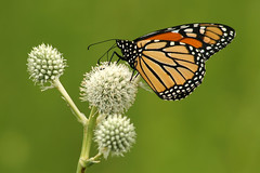 Monarch on Rattlesnake Master (Up Nort) Tags: wisconsin monarch merrimac naturesfinest devilslakestatepark danausplexippus blueribbonwinner supershot upnort roznosmeadow