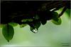 Memories of rain (@petra) Tags: life love beautiful leaves rain garden drops petra memories greens soe intherain puredelight firstquality mywinners anawesomeshot infinestyle ofbeauty sharingdayubydayexperiences