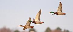 Mallards (Justin C Lenk) Tags: bird birds canon duck ducks idaho mallard anas anasplatyrhynchos nampa anatidae platyrhynchos anseriformes 400mmf56l wilsonponds