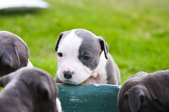 Innocent look (Hussain Khorsheed) Tags: blue dog pet pets cute dogs look for puppies sale small innocent pitbull american short kuwait q8 apbt