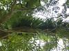 96.11.16竹崎鄉光華村茄苳風景區內的茄苳老樹DSCN3201