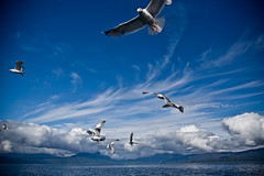 Incoming! (Espen Dalmo) Tags: ocean sea sky seagulls birds norway norge flying fishing skies narvik skyer fugler hav fiske mker supershot mse flickrsbest mywinners anawesomeshot