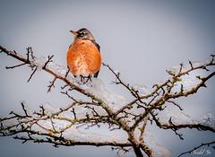 Robin on ice branch 冰枝上的羅賓 (T.ye) Tags: bird ice robin animal branch tree wildlife annimal