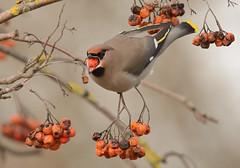 waxwing (Severnrover) Tags: bird waxing berries rowan tree feeding