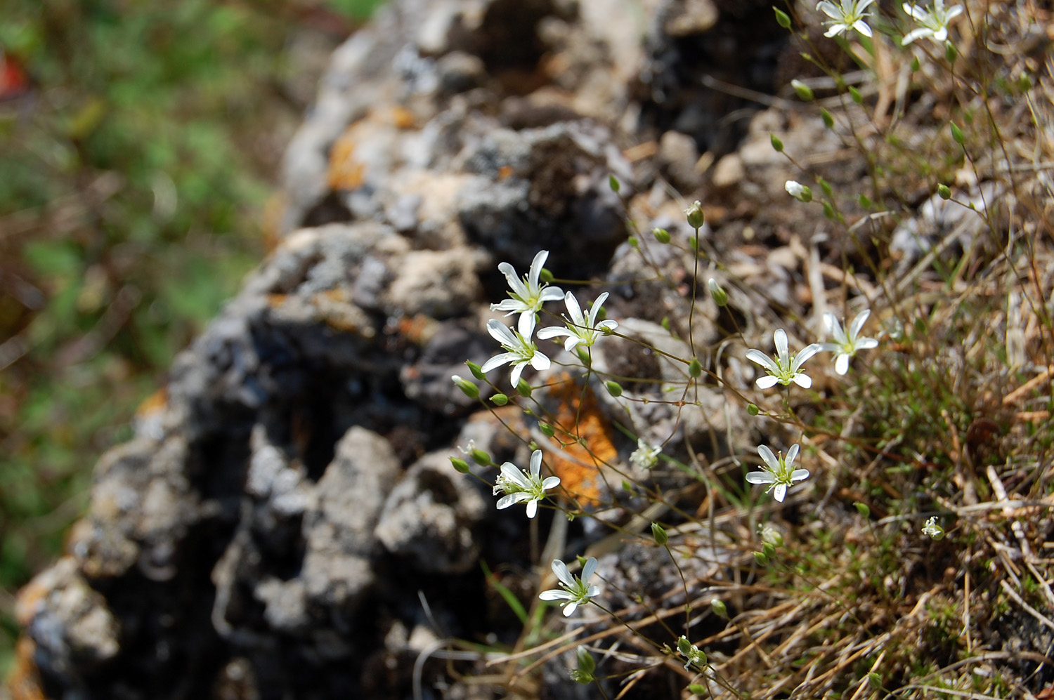 Image of Minuartia michauxii
